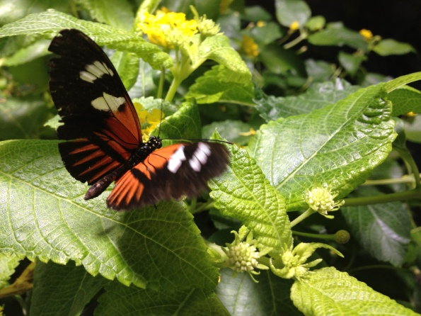 One of our favorite butterflies lands and flaps.
